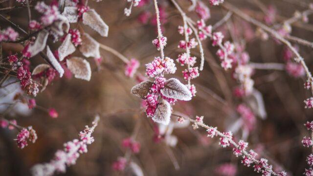 vinter frost växt