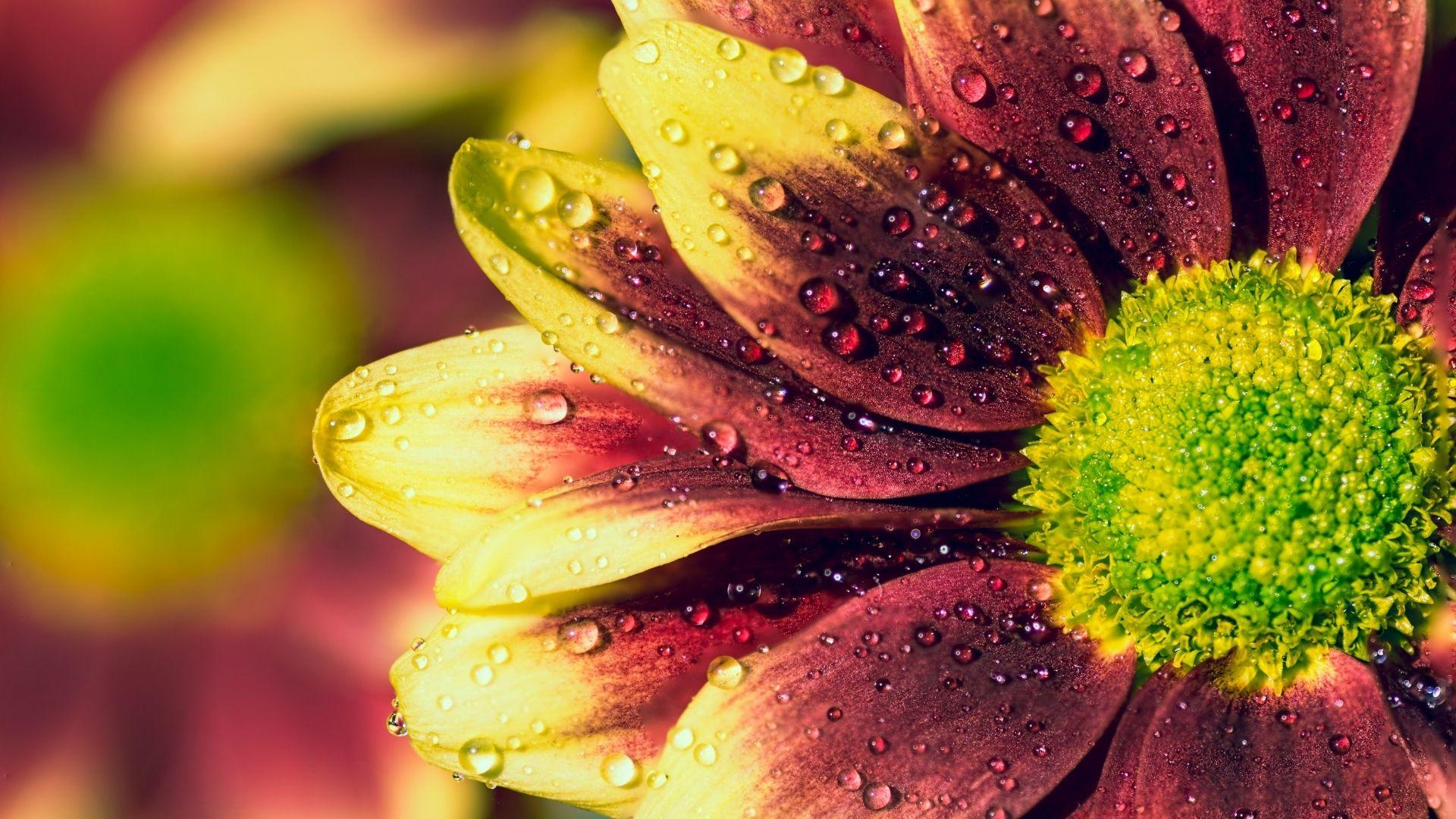 kryssantemum blomma närbild vattendroppar