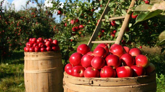 röda äpple trätunna äppelträd sensommar