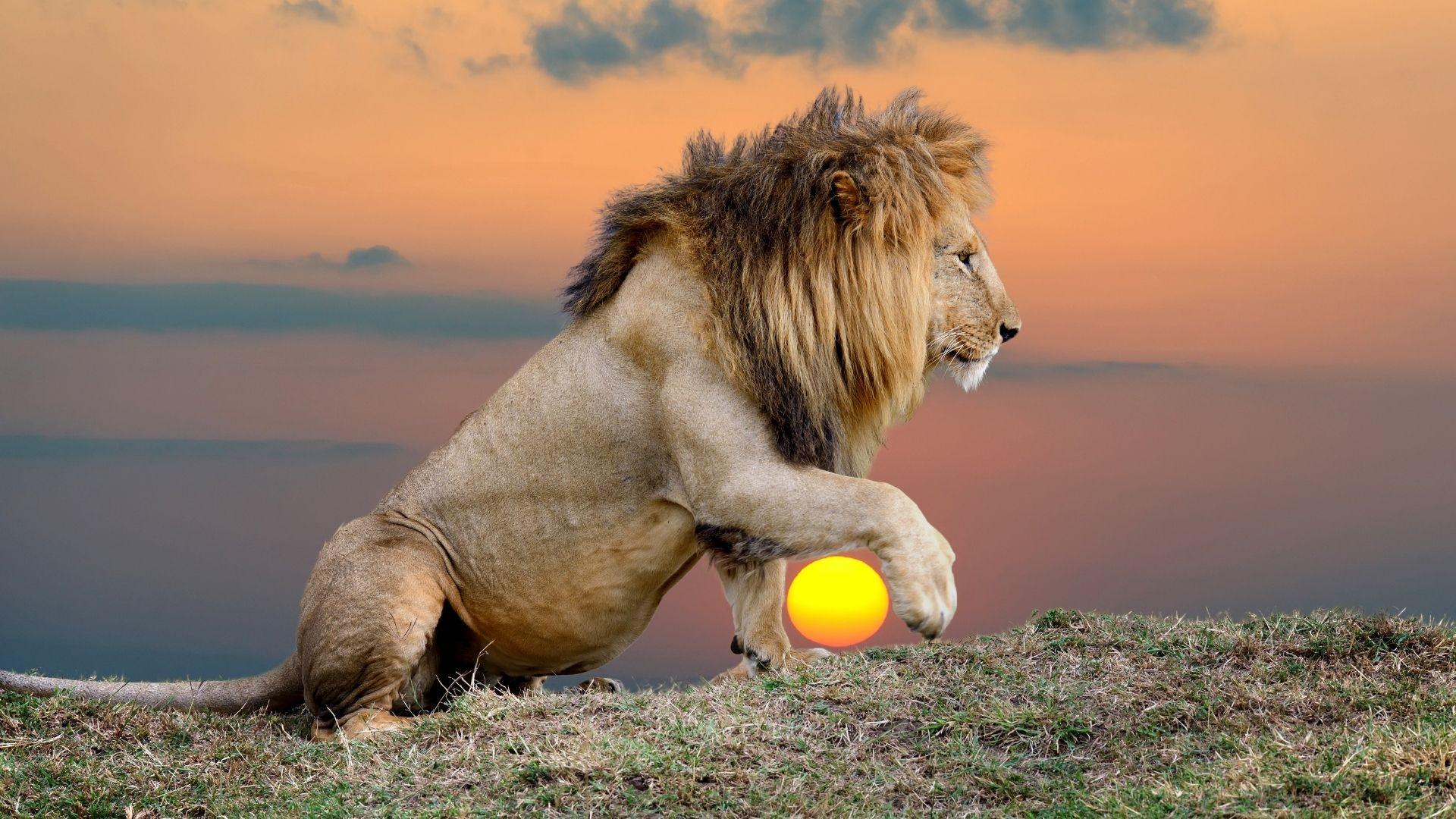 lejon solnedgång