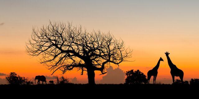 afrika solnedgång elefant giraff